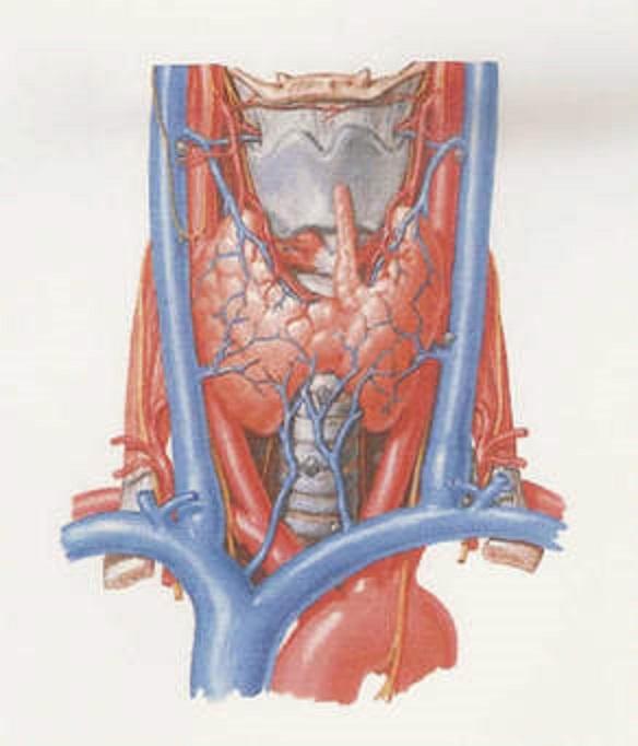 Ipertiroidismo nell'uomo: sintomi, conseguenze sulla libido, cure | MEDICINA ONLINE